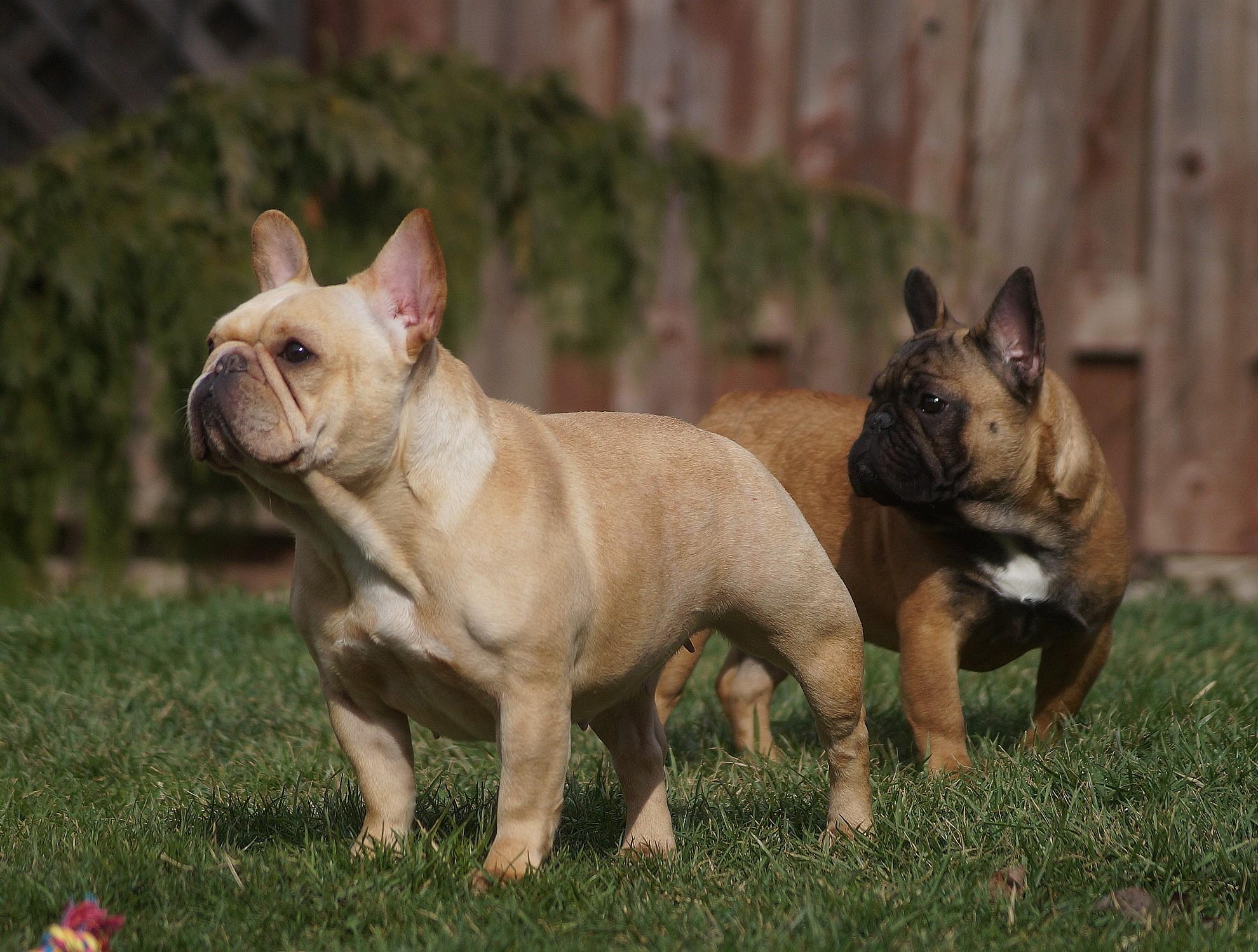 Lasalle Bulldogs